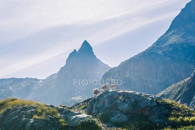 Agneaux sauvages pâturant sur un pré rocheux au sommet d'une chaîne de montagnes verdoyantes sous un soleil éclatant en Suisse — Photo de stock