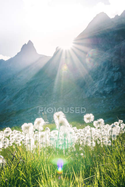 Summer landscape of meadow with fluffy dandelions and green grass surrounded by rocky mountains in Switzerland — Stock Photo