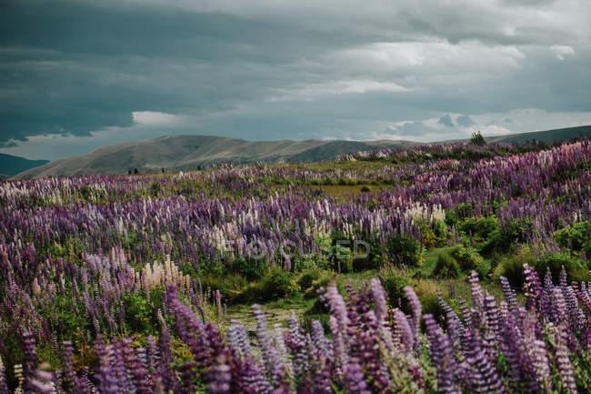 Majestätischer Blick auf das Feld mit blühenden Lupinenblüten in Neuseeland — Stockfoto