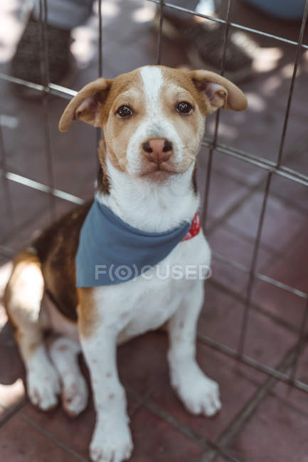Calm Jack Russell terrier with brown and white fur in bandana sitting in street, looking in camera — Stock Photo