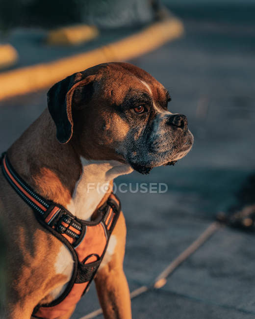 Calm Boxer dog in harness sitting in urban street at sunset sunlight and looking away — Stock Photo