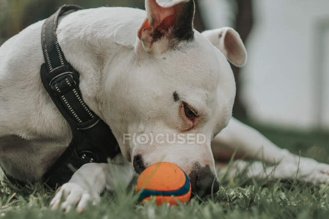 Close-up of domestic Amstaff dog in harness biting ball as spending time lying on grass in street — Stock Photo