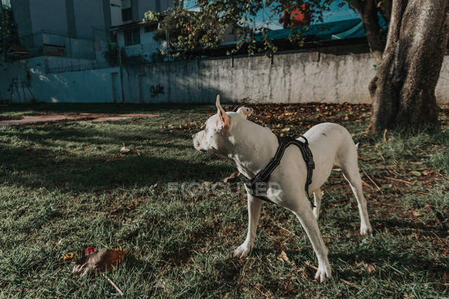 Happy Amstaff dog in harness spending time in sunny street — Stock Photo