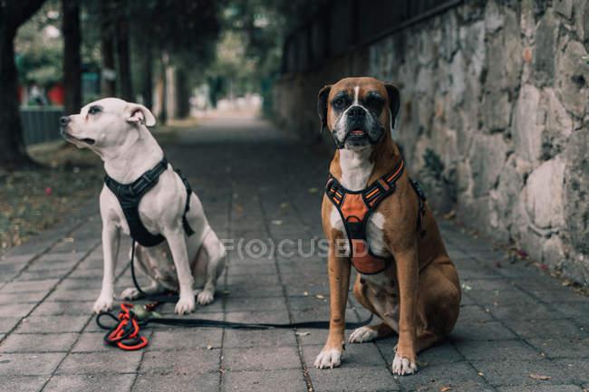 Амстат собака в упряжі з попелом сидячи з боксерським собакою дивлячись на камеру на вулиці міста — стокове фото