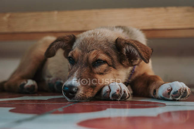 Close-up of exhausted mongrel puppy lying on paws looking in camera at home — Stock Photo