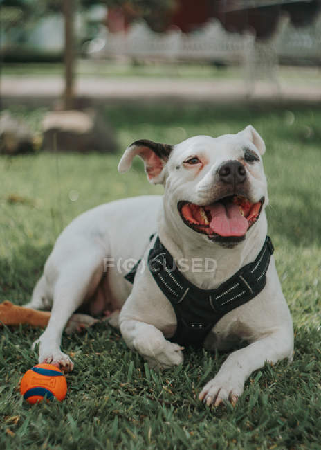Adorable Staffordshire dog sticking out tongue as lying with ball on grass in street — Stock Photo