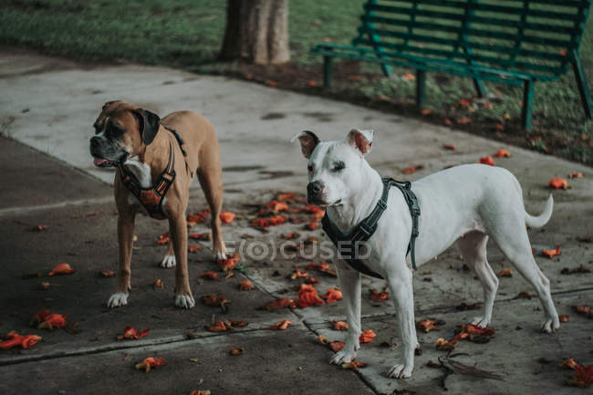 Сверху чистокровная собака Амстаф в упряжке гуляет с собакой-боксером на улице осенью и смотрит в сторону — стоковое фото