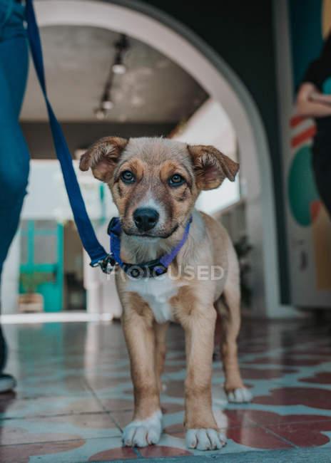 Porträt eines ernsthaften Mischlingshundes mit Leine, der mit seinem Besitzer bis zur Unkenntlichkeit spaziert und in die Kamera schaut — Stockfoto