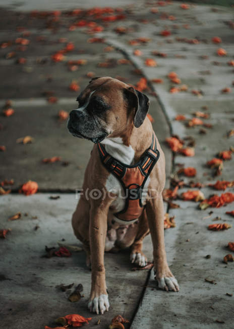 Domestic Boxer dog sitting in street in autumn — Stock Photo