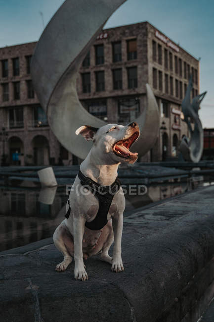 Strong Amstaff dog spending time in street of city — Stock Photo