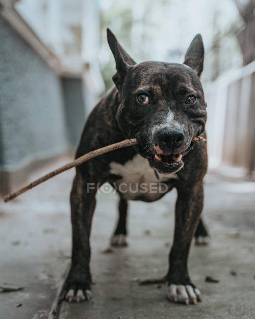 Glad mixed breed dog strolling with stick in mouth in street — Stock Photo