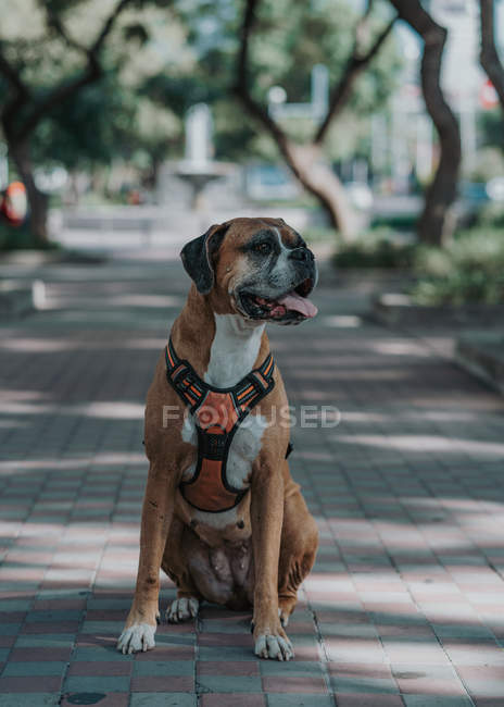 Happy Boxer dog in harness sticking out tongue as sitting on ground in street looking away — Stock Photo