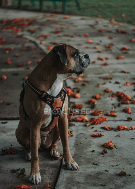 Calma Boxer cane in imbracatura seduto a terra in strada urbana in autunno, guardando altrove — Foto stock