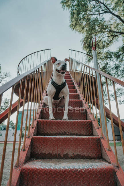 From below of joyful kind Staffordshire terrier in harness with opened mouth sitting on stairs in street, looking away — Stock Photo