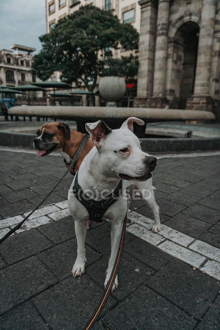 Boxer dog walking with Staffordshire terrier in street — Stock Photo
