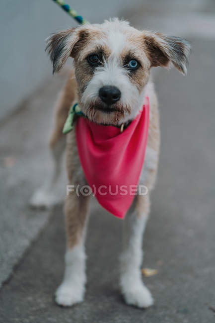 Happy mongrel dog with diverse eyes in bandana walking in street — Stock Photo