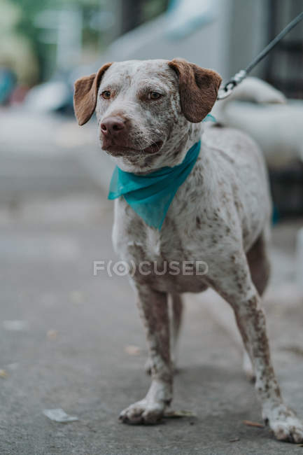 Cute mixed breed dog with leash in bandana strolling in street looking in camera — Stock Photo