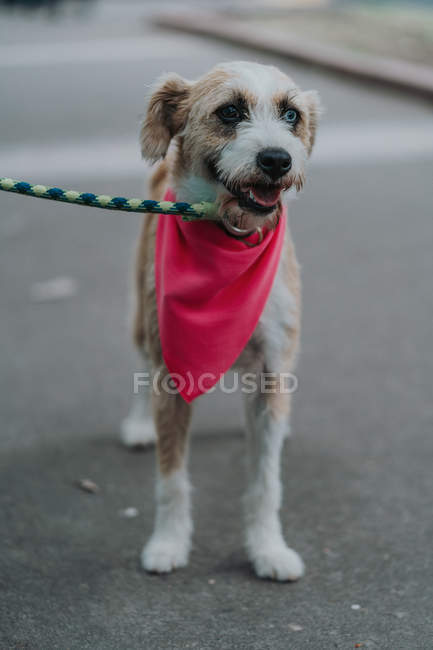 Adorable mixed breed dog with different eyes and leash in bandana with opened mouth strolling in street — Stock Photo