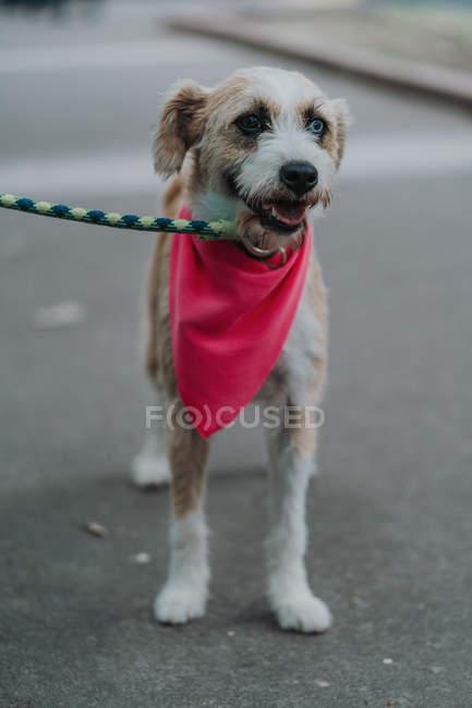 Entzückender Mischlingshund mit anderen Augen und Leine im Kopftuch mit geöffnetem Maul, der auf der Straße spaziert — Stockfoto