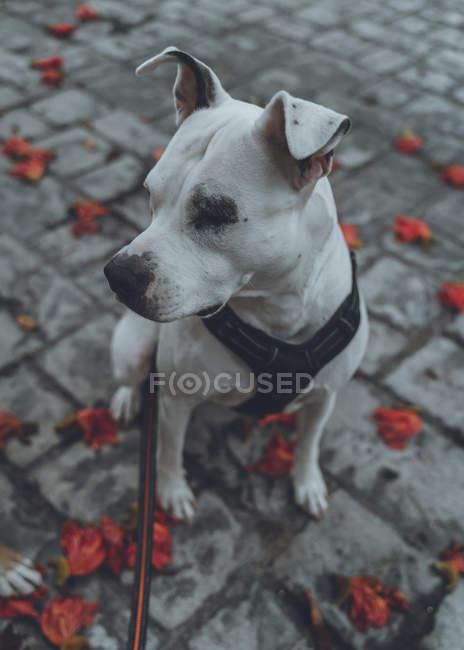 De cima de raça pura Staffordshire cão em arnês com trela sentado no chão na rua no outono — Fotografia de Stock