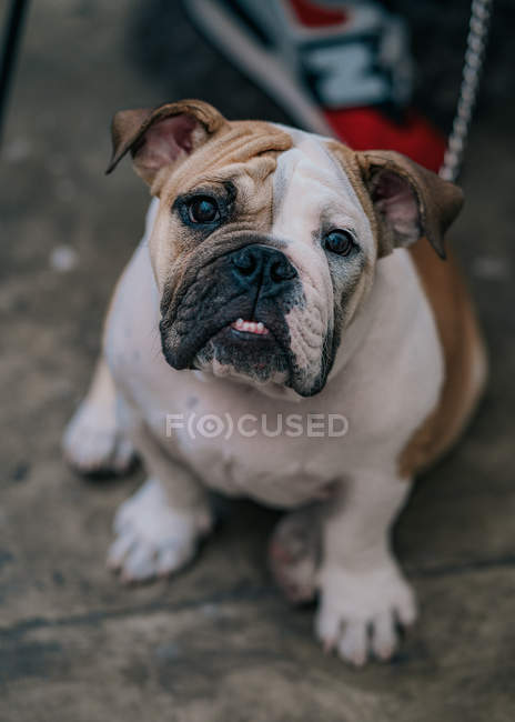 From above of cute bulldog sitting on ground, looking in camera in street — Stock Photo