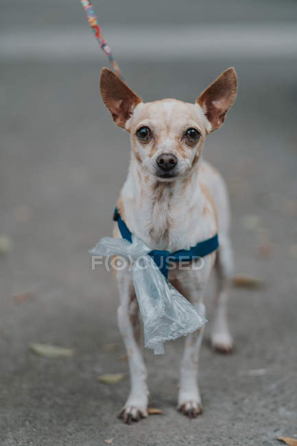 Small dog with leash and plastic bag walking in street, looking in camera — Stock Photo