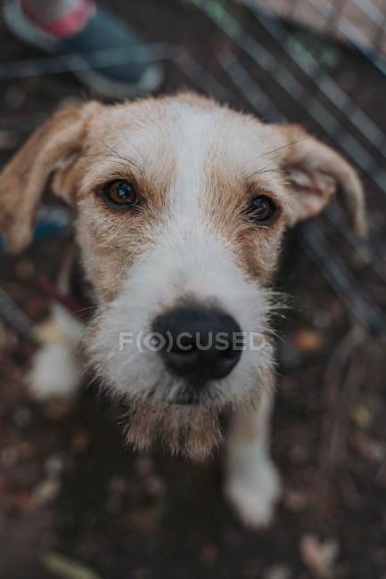Close-up of mutt dog with brown and white fur in street, looking in camera — Stock Photo