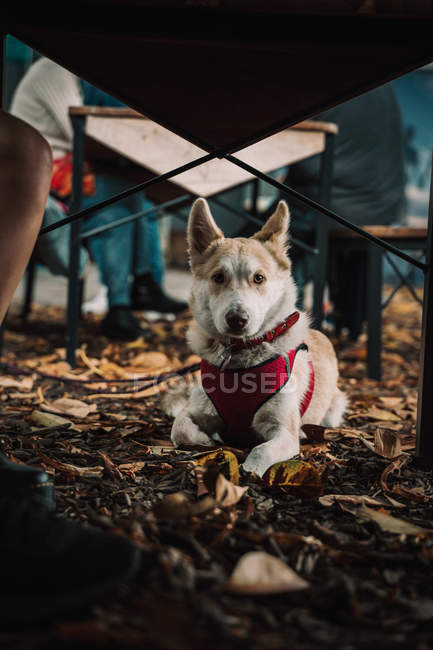 Adorable mixed breed dog lying on ground in street on fallen leaves — Stock Photo