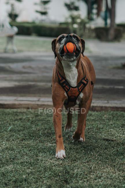 Hausboxerhund im Geschirr mit Ball im Maul steht auf Gras auf der Straße — Stockfoto