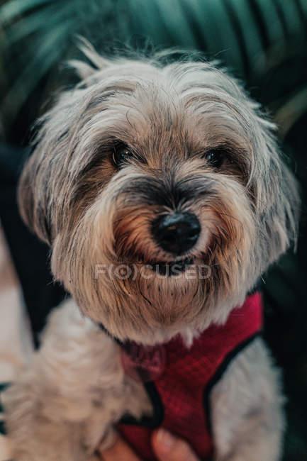 Nahaufnahme von Yorkshire Terrier im Anzug in der Hand seines Besitzers, der in die Kamera blickt — Stockfoto