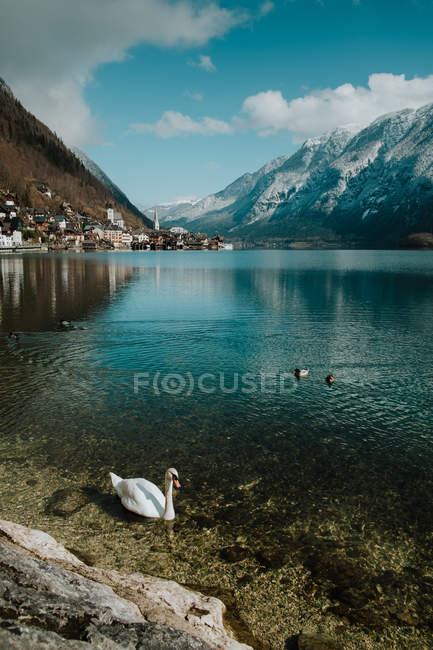 Serene landscape of white swan calmly swimming along stony shore in crystal water reflecting sky and mountains in Hallstatt — Stock Photo