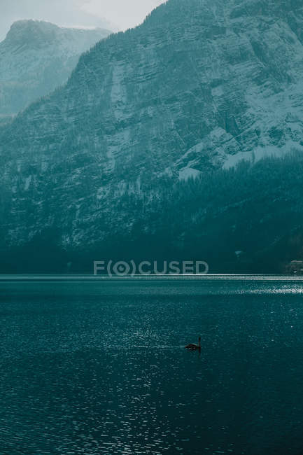 Serene landscape with lonely swan in crystal calm water reflecting sky and snowy mountains in bright daytime in Hallstatt — стокове фото