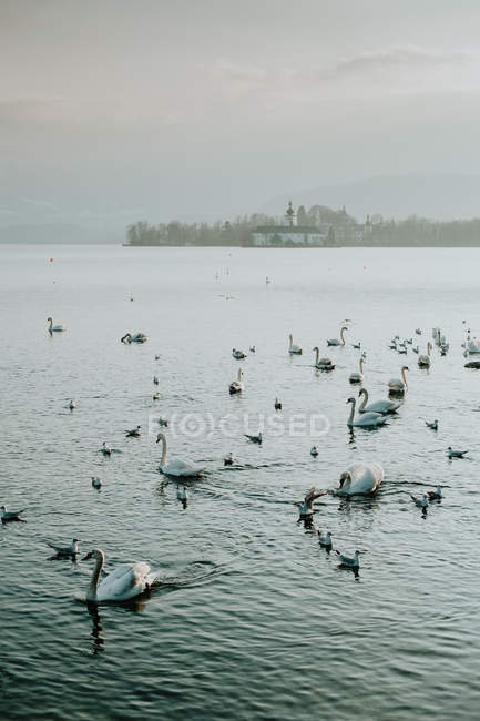 Serene landscape of white swans calmly swimming in crystal water reflecting sky in Salzburg — Stock Photo