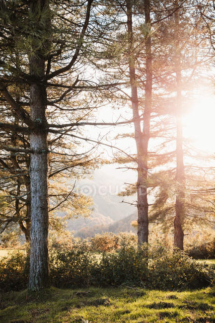 Sun shining through branches of pine trees and lightening green meadow in autumn forest in highland — Stock Photo