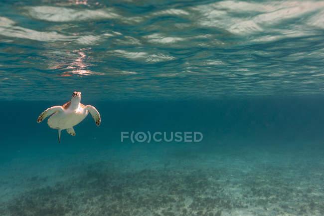 Vue sous-marine de la tortue nageant en mer — Photo de stock