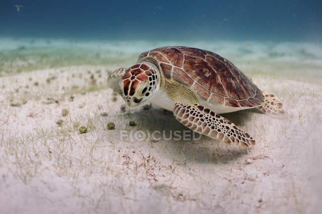 Vista submarina de Tortuga nadando en el mar - foto de stock