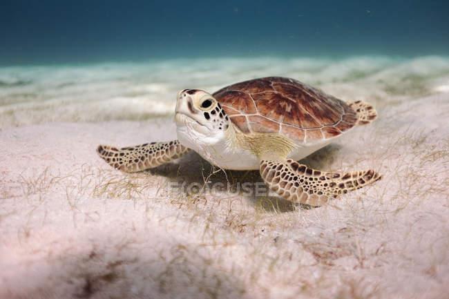 Подводный вид на плавание Черепахи в море — стоковое фото