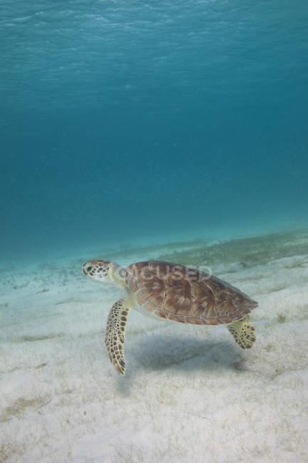 Unterwasserblick der Schildkröte, die im Meer schwimmt — Stockfoto