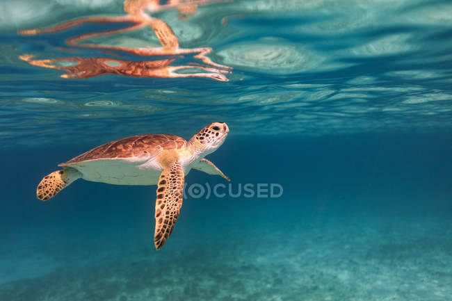 Underwater view of Turtle swimming in sea — Stock Photo