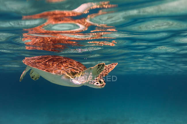Vista subacquea della tartaruga che nuota in mare — Foto stock