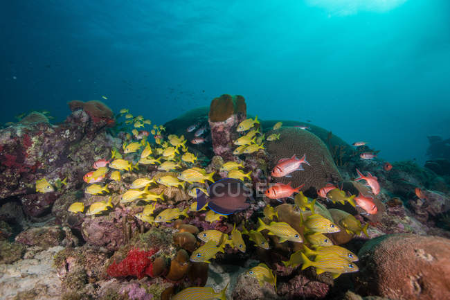 Shoal of beautiful fishes in azure water — Stock Photo