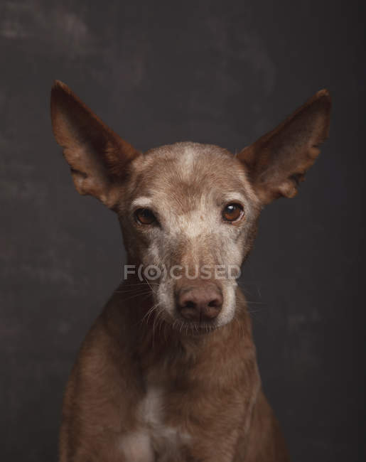 Portrait of podenco dog in studio on gray background. — Stock Photo