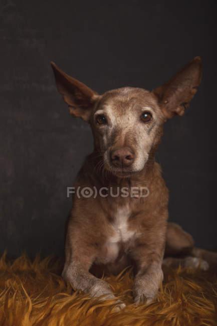 Porträt eines Podenco-Hundes auf orangefarbener Felldecke auf grauem Hintergrund. — Stockfoto