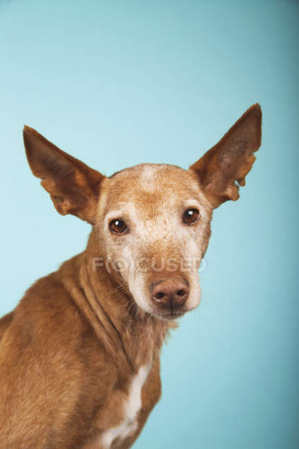 Portrait of brown podenco dog with sad eyes on blue background. — Stock Photo