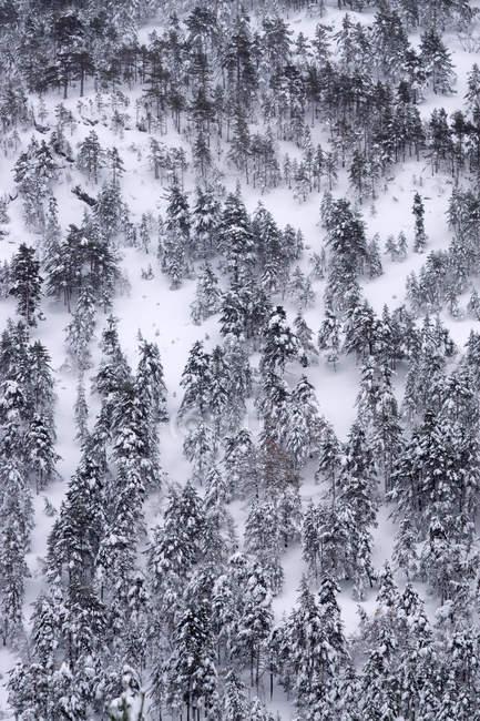 Pineta coperta di neve e ghiaccio in un paesaggio nebbioso nel nord della Spagna Montagne — Foto stock