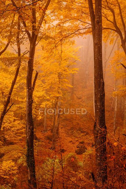Wald mit Herbstfarben im Nebel — Stockfoto