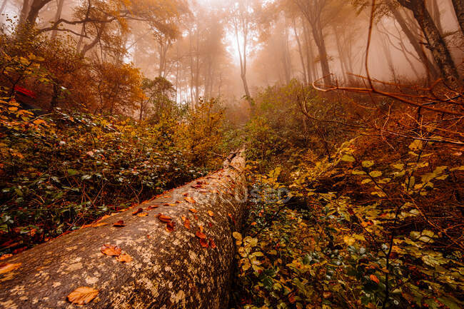 Trunk fallen on a autumn forest with red colors among fog — Stock Photo