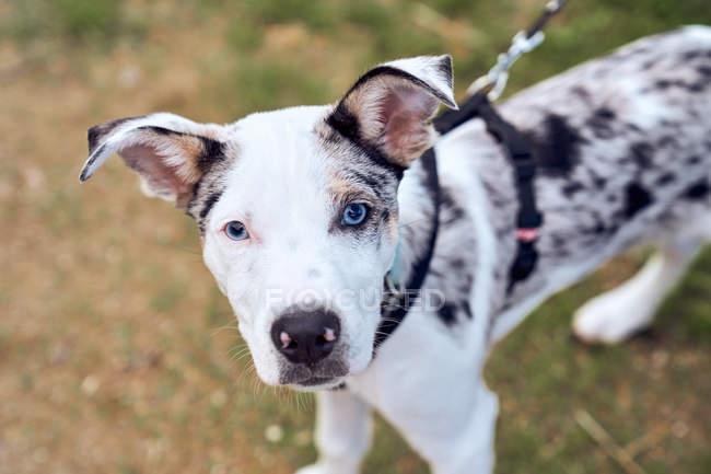 Collie di frontiera cucciolo con occhi blu nel campo guardando la fotocamera — Foto stock