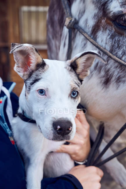 Border collie puppy with blue eyes in the field looking at camera — Stock Photo