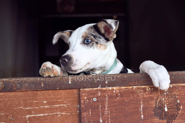 Border collie puppy with blue eyes peeking out the wooden door — Stock Photo